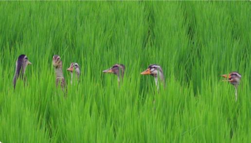 """真有机、高品质——五常""""臻琦""""有机鸭稻米与您相约5月北京有机食品展"""